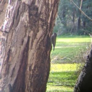 Cormobates leucophaea at Splitters Creek, NSW - 21 Jul 2021