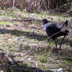 Porphyrio melanotus at Splitters Creek, NSW - 21 Jul 2021
