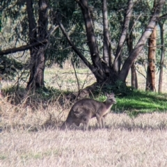 Macropus giganteus (Eastern Grey Kangaroo) at Splitters Creek, NSW - 21 Jul 2021 by Darcy