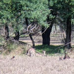 Macropus giganteus at Splitters Creek, NSW - 21 Jul 2021