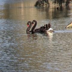Cygnus atratus (Black Swan) at Splitters Creek, NSW - 21 Jul 2021 by Darcy
