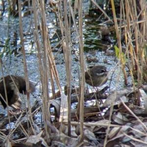 Sericornis frontalis at Splitters Creek, NSW - 21 Jul 2021