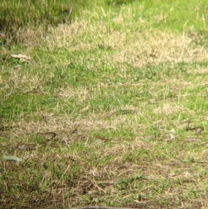 Neochmia temporalis at Splitters Creek, NSW - 21 Jul 2021