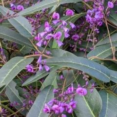 Hardenbergia violacea (False Sarsaparilla) at Splitters Creek, NSW - 21 Jul 2021 by Darcy