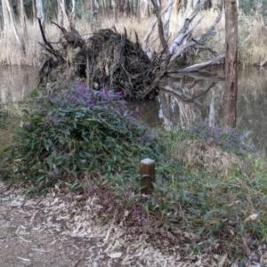 Hardenbergia violacea at Splitters Creek, NSW - 21 Jul 2021
