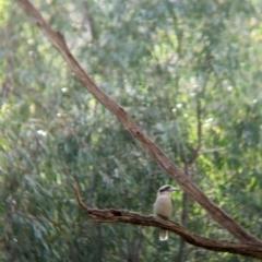 Dacelo novaeguineae (Laughing Kookaburra) at Splitters Creek, NSW - 21 Jul 2021 by Darcy