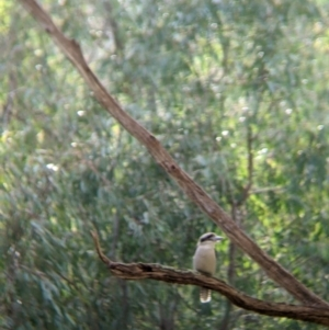 Dacelo novaeguineae at Splitters Creek, NSW - 21 Jul 2021