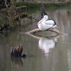 Pelecanus conspicillatus (Australian Pelican) at West Albury, NSW - 21 Jul 2021 by Darcy