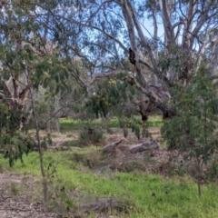 Paraserianthes lophantha subsp. lophantha at West Albury, NSW - 21 Jul 2021