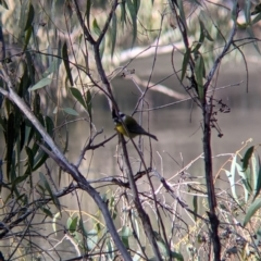 Falcunculus frontatus (Crested Shrike-tit) at Wodonga, VIC - 21 Jul 2021 by Darcy