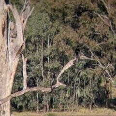 Phalacrocorax sulcirostris (Little Black Cormorant) at West Albury, NSW - 21 Jul 2021 by Darcy