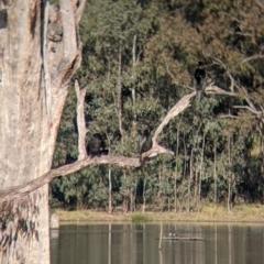 Phalacrocorax sulcirostris at West Albury, NSW - 21 Jul 2021