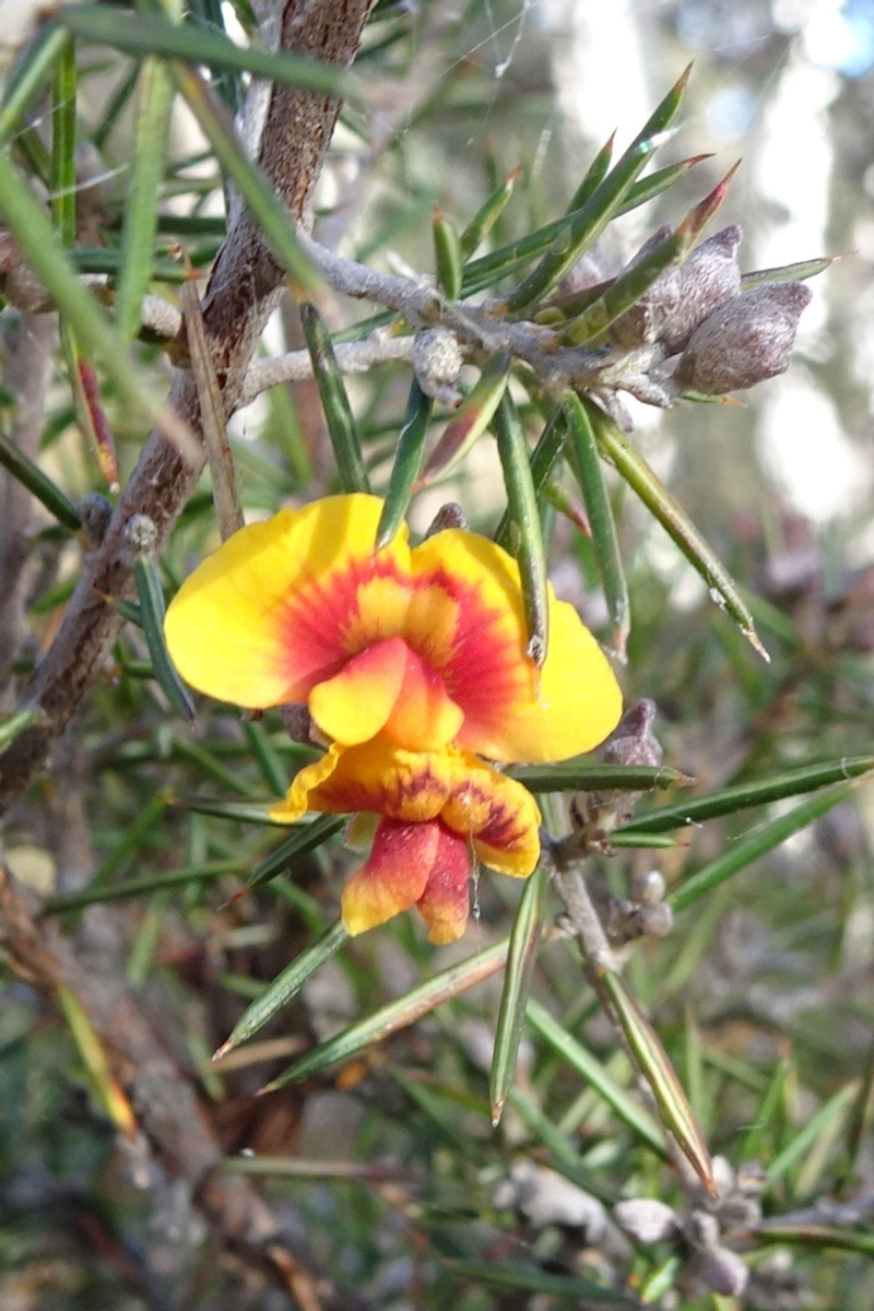 Dillwynia sieberi at Carwoola, NSW - 7 Jul 2021