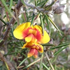 Dillwynia sieberi (A parrot pea) at Carwoola, NSW - 6 Jul 2021 by JanetRussell