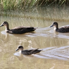 Anas superciliosa (Pacific Black Duck) at Springdale Heights, NSW - 21 Jul 2021 by PaulF