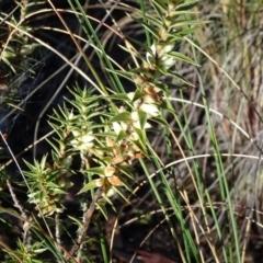 Melichrus urceolatus at Carwoola, NSW - 7 Jul 2021