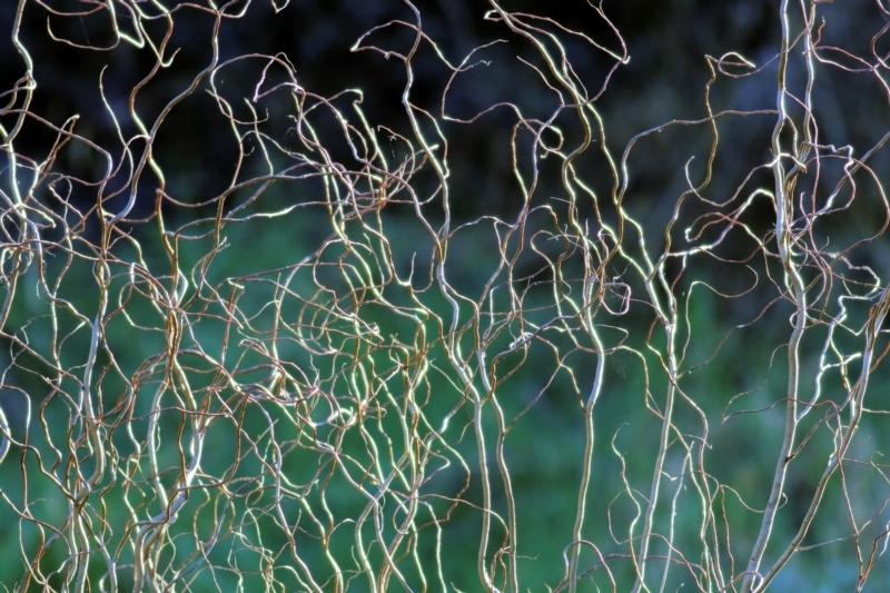 Salix matsudana 'Tortuosa' at Wodonga, VIC - 21 Jul 2021