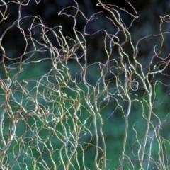 Salix matsudana 'Tortuosa' (Tortured Willow) at Wodonga, VIC - 21 Jul 2021 by Kyliegw
