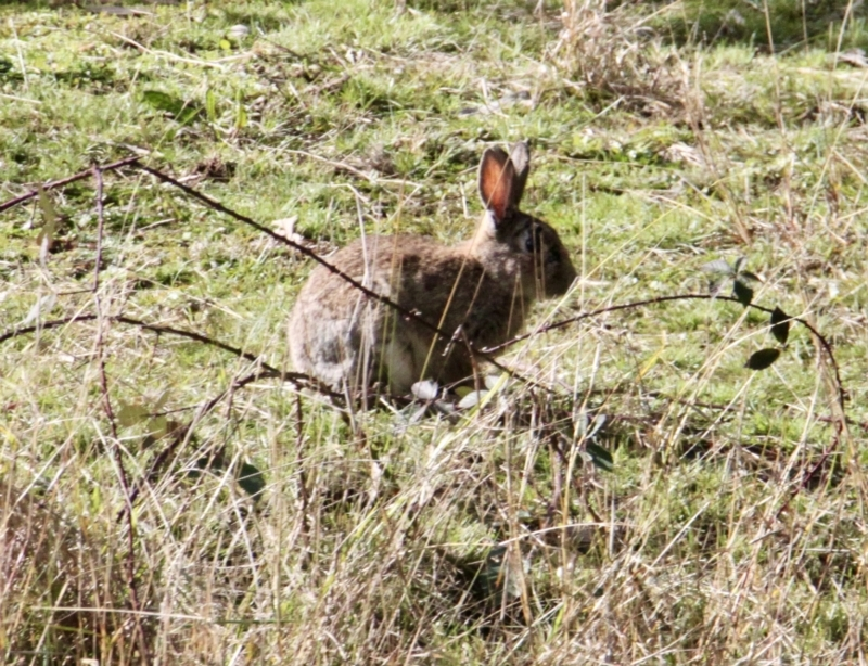 Oryctolagus cuniculus at Springdale Heights, NSW - 21 Jul 2021