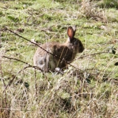 Oryctolagus cuniculus (European Rabbit) at Springdale Heights, NSW - 21 Jul 2021 by PaulF