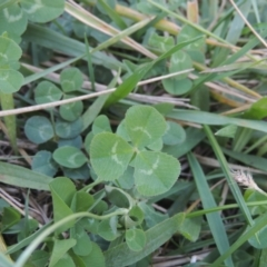Trifolium repens at Isabella Plains, ACT - 4 Apr 2021