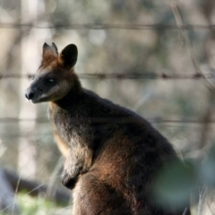 Wallabia bicolor (Swamp Wallaby) at Springdale Heights, NSW - 21 Jul 2021 by PaulF