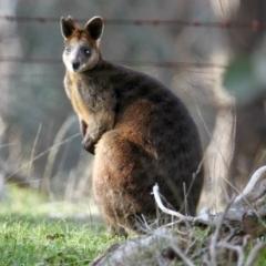 Wallabia bicolor at Springdale Heights, NSW - 21 Jul 2021