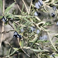 Olea europaea (Common Olive) at Springdale Heights, NSW - 11 Jul 2021 by PaulF