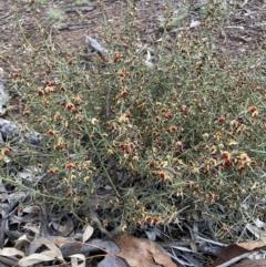 Daviesia genistifolia (Broom Bitter Pea) at Hackett, ACT - 21 Jul 2021 by waltraud
