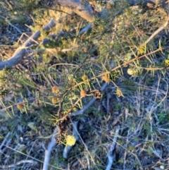 Acacia ulicifolia (Prickly Moses) at Hackett, ACT - 21 Jul 2021 by waltraud