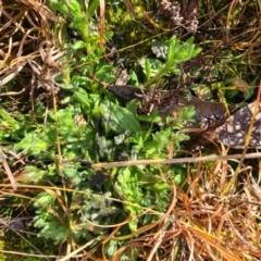 Cerastium vulgare (TBC) at Barton, ACT - 22 Jul 2021 by Jiggy
