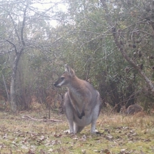 Macropus rufogriseus at suppressed - 8 Jul 2021