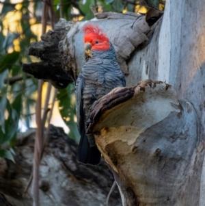 Callocephalon fimbriatum at Uriarra, NSW - 21 Jul 2021