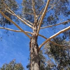 Eucalyptus sieberi (Silvertop ash) at Currawang, NSW - 22 Jul 2021 by camcols