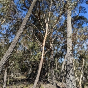 Eucalyptus sieberi at suppressed - 22 Jul 2021