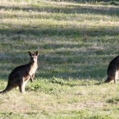 Macropus giganteus (Eastern Grey Kangaroo) at Springdale Heights, NSW - 21 Jul 2021 by PaulF