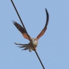 Falco cenchroides (Nankeen Kestrel) at Paddys River, ACT - 22 Jul 2021 by RodDeb