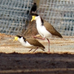Vanellus miles (Masked Lapwing) at Paddys River, ACT - 22 Jul 2021 by RodDeb