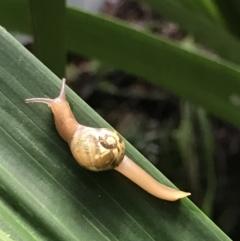 Mysticarion porrectus (Golden Semi-slug) at Acton, ACT - 11 May 2021 by MattFox