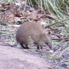 Isoodon obesulus (Southern Brown Bandicoot) at Paddys River, ACT - 22 Jul 2021 by Christine