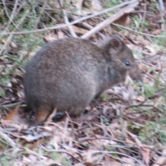 Potorous tridactylus (Long-nosed Potoroo) at Paddys River, ACT - 22 Jul 2021 by Christine