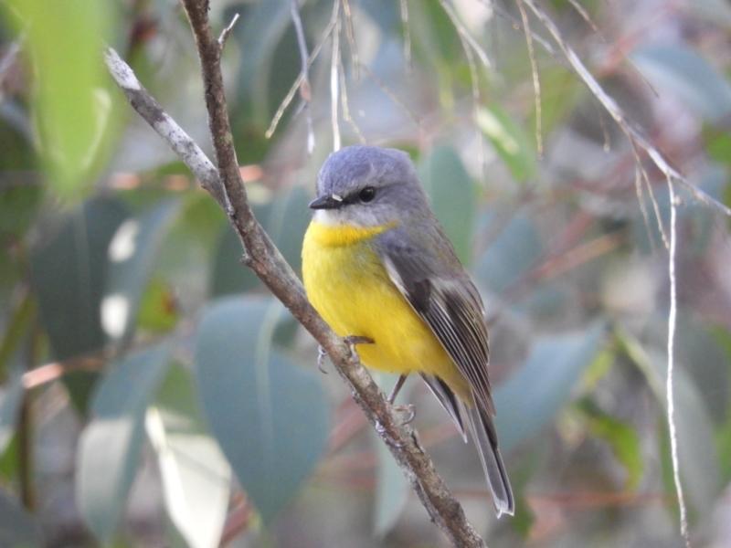 Eopsaltria australis at Bundanoon, NSW - 20 Jul 2021
