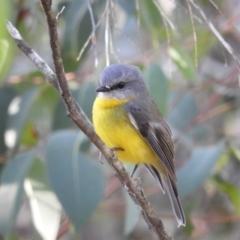 Eopsaltria australis (Eastern Yellow Robin) at Bundanoon, NSW - 20 Jul 2021 by MatthewFrawley