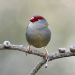 Neochmia temporalis (Red-browed Finch) at Springdale Heights, NSW - 22 Jul 2021 by PaulF