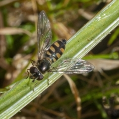 Unidentified Hover fly (Syrphidae) (TBC) at Googong, NSW - 22 Jul 2021 by WHall