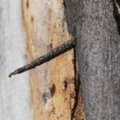 Conoeca guildingi (A case moth) at Scullin, ACT - 22 Jul 2021 by AlisonMilton