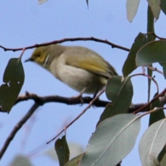 Ptilotula penicillata (White-plumed Honeyeater) at Springdale Heights, NSW - 22 Jul 2021 by PaulF