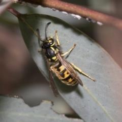 Vespula germanica (European wasp) at Bruce, ACT - 22 Jul 2021 by AlisonMilton