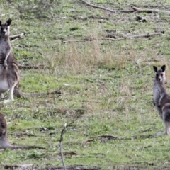 Macropus giganteus (Eastern Grey Kangaroo) at Springdale Heights, NSW - 22 Jul 2021 by PaulF