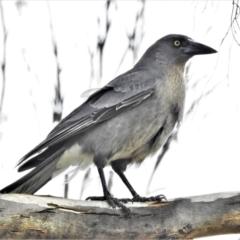 Strepera versicolor (Grey Currawong) at Tharwa, ACT - 22 Jul 2021 by JohnBundock